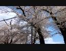 新潟県上越市中郷小学校の桜□が今年も満開となりました‼(^ω^)
