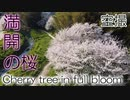 【空撮】満開の桜 - Cherry tree in full blossom