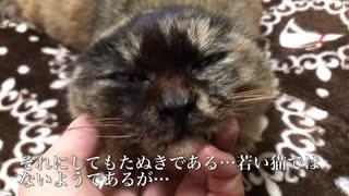 重症のたぬき猫、雪の中で緊急に保護される