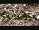【アリの飼育記#172】アリを盗むアリがヤバすぎた【サムライアリの奴隷狩り】Slave-making ant slave hunting
