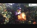 みかん収穫5分RTA