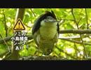 4月29日今日撮り野鳥動画まとめ 【閲覧注意】ツミの小鳥捕食シーン