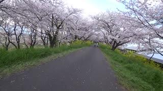 自転車で大垣市桜巡り 大島堤サイクリング