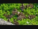 0430【志村どうぶつ園のカルガモ9羽、放映分直後】カルガモ親子✨と粘着ストーカー□【今日撮り野鳥動画まとめ】身近な生き物語