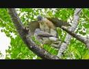 5月6日今日撮り野鳥動画まとめ カルガモ親子7、親が雛放置。カラスラブラブ、ツミラブラブ