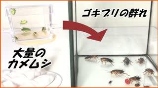 大量のカメムシを激辛ゴキブリなゴキブリと混ぜたら・・・。