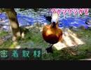 神戸どうぶつ王国にいるアカツクシガモに密着取材してみた