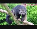 神戸どうぶつ王国 ビントロングの親子喧嘩&レッサーパンダの可愛い動画□