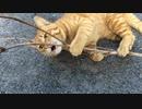 キレたバターナイフ猫、まさかのニワトリ化を見せる