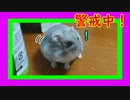 盗賊ハムスターが遊んでくれません(´;ω;`)  Hamster does not play with him. #47【ハムスター物語】