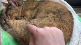 つんつんしてるのが飼い主だとわかったら無視して寝てる猫