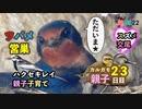 5月22日今日撮り野鳥動画まとめ カルガモ親子23日目、ハクセキレイ子育て、ツバメ営巣、スズメ交尾
