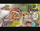 5月23日今日撮り野鳥動画まとめ スズメの赤ちゃん✨、カルガモ親子24日目、ハクセキレイ子育て