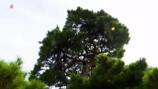 【朝鮮中央テレビ:松尺】フィラー放送「松」(2019年1月1日放送)【正月用?】