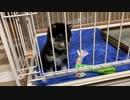 【豆柴】生後60日の子犬が家にやってきた!【可愛すぎる】