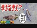 0628【増水、迷子のカルガモ雛】雨上がりのカルガモ親子達【今日撮り野鳥動画まとめ】身近な生き物語