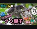 0701【小さな猛禽類ツミ親子の給餌(閲覧注意)】カルガモ親子大家族。カワセミと、オナガ虫捕食、アリの引っ越し【今日撮り野鳥動画まとめ】身近な生き物語