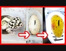 【有精卵の見分け方を紹介】レオパが卵を産んでました・キャンドリングもしました。