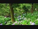 長居植物園で紫陽花見たきた