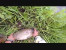 07.05 【魚釣り】雨上がりのドブ川で