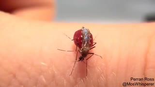 ホモと見る血を吸い過ぎた蚊