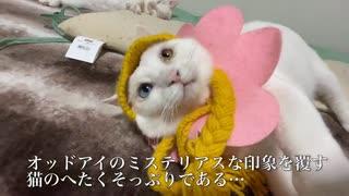 オッドアイの保護白猫、猫のへたくそっぷ