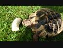 バナナに食らいつくリクガメ