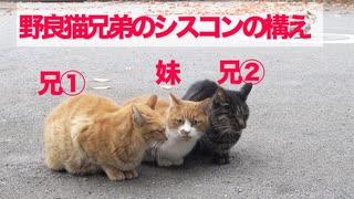 武闘派野良猫兄弟、美しき妹猫へのシスコ