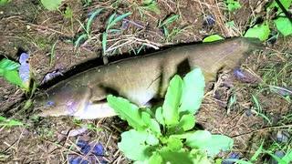 【釣り・ニコ生】埼玉の柳瀬川でナマズを釣る!@フッキングノイジーで釣れた【VLOG・P30 Pro】