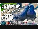 0803【肉食系女子鳩の求愛給餌と交尾】カルガモ親子、迷子に奇形に・・・。ハクセキレイ親子【今日撮り野鳥動画まとめ】身近な生き物語