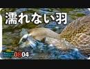 0804【置き去りにしたカルガモ親子達その後】オナガの水浴び、バン。アブ捕食、トンボ、蝉など。【今日撮り野鳥動画まとめ】身近な生き物語