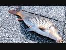 【釣り・Fishing】浮間公園で鯉釣り、亀も釣れたw@柳瀬川・荒川戸田橋釣行の没動画あり♪【VLOG・P30 Pro】