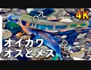 【4K】オイカワの雄と雌 婚姻色と求愛・縄張り争い