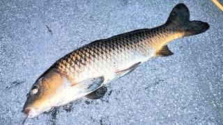 【釣り・Fishing】東京、夜の浮間公園でセミで鯉を釣る!(板橋区と北区の境)@旧岩淵水門でゲリラ豪雨に見舞われた時のおまけ動画あり【VLOG・P30 Pro】
