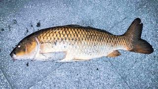 【釣り・рыбалка в японии(Токио・Парк Укима)】東京・浮間公園で夜にセミで鯉釣り!@マッチザベイト!?【VLOG・P30 Pro】
