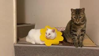オッドアイの白たぬき、猫のソーシャルデ