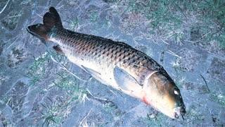【釣り・рыбалка в японии(Токио・Парк Укима)】東京、夜の浮間公園で蝉で鯉釣り@セミパターン継続!【VLOG・P30 Pro】