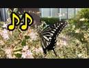 美味しそうに蜜を吸うアゲハ蝶