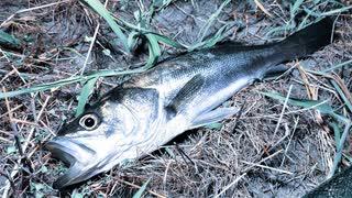 【釣り・Fishing】埼玉、夜の荒川温泉(温排水)でシーバス(スズキ)を釣る!【VLOG・P30 Pro】