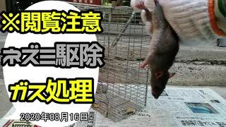 【閲覧注意】ネズミ駆除・生きたネズミの