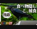 0927【カラスの捕食と餌隠し】カエルやバッタが食べられる。カルガモ悲劇の奇形、バン雛(若鳥)、モズの鳴き声。ムクドリとオナガが柿を食べる【 #今日撮り野鳥動画まとめ 】 #身近な生き物語_1
