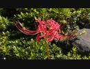 【ゆかマキ】なんか生垣に彼岸花咲いてた