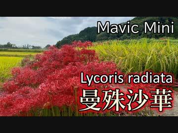 『曼殊沙華を空撮 - Lycoris radiata in full bloom - DJI Mavic Mini』のサムネイル