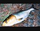 【釣り・Fishing】埼玉、荒川温泉・温排水でシーバス狙いでハクレンが釣れる@ガーパイクも目撃!【VLOG・P30 Pro】