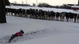 犬(ミニチュアシュナウザー)vs ウシ