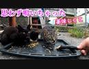 秋刀魚を食べたいけど人間が怖い!【目真ん丸さんで臆病な黒子猫】