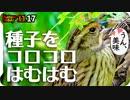 1117【アオジが種子コロはむはむ】捕食シジュウカラ鳴き声と...