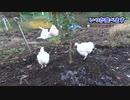 2019年11月の烏骨鶏 最高のTKG32 The road to Golden 'Rice with raw egg'!!! ep32