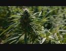 元CIA分析官が語る ep5「大麻」