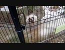 【ノーナレ動物動画】積雪で犬(科:タヌキ)は喜び庭駆け回るレベルじゃない【到津の森公園】